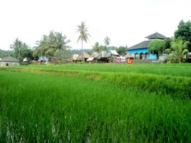 Persawahan yang kami lalui sebelum memasuki Dusun Mandala